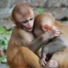 Slozi sliku - majmun