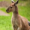 Slozi kengura